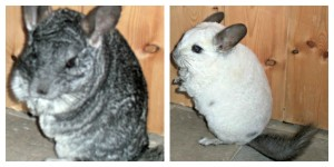 chinchillas 300x150 8th January 2013   Chinchillas (8/365)