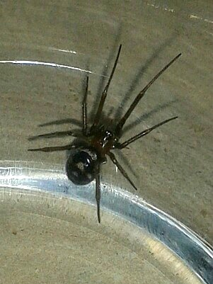 the gallery, spider, false widow spider, breathe