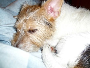 jack russell terrier, rescue dog, tilly