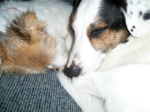 border collie cross dalmatian, jack russell, dogs cuddling, rescue dogs