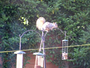 squirrel, squirrel on bird feeder, bird feeder, garden wildlife